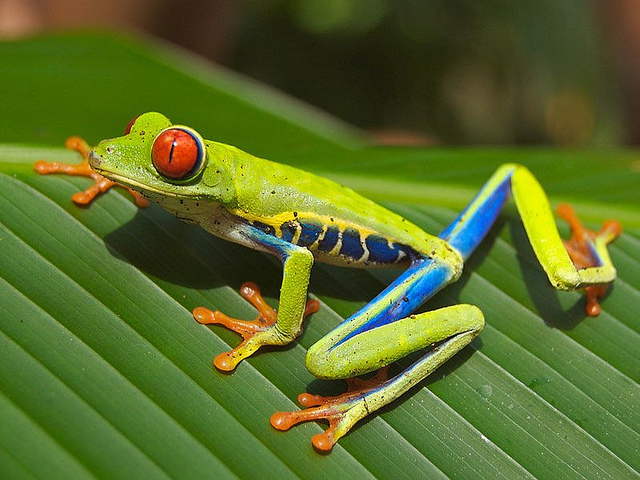 The red-eyed tree frog: Agalychnis callidryas remained sticky to tree leaves all the day. Image: Inf-Lite Teacher