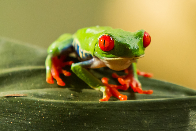 The red-eyed tree frog: Agalychnis callidryas - Image by The.Rohit
