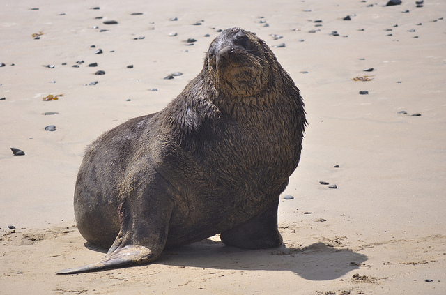 Adult male Hooker's Sea Lion of New Zealand - Image by John Slaney