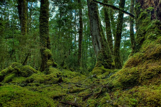 Mossy Undergrowth, Fiordland National Park - Image:  Zak Henry