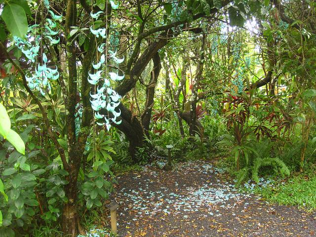 Jade Vine - So amusing when bloom - Image by ideath
