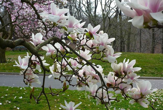 Magnolia x soulangiana Alexandrina: An image by wondooros