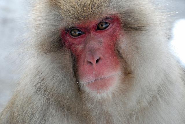 Japanese macaque portrait by Jean-François Chénier