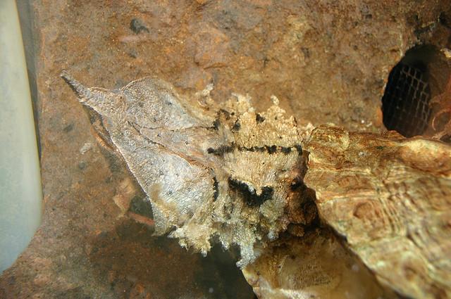 Matamata Turtle: An image by Ryan Somma