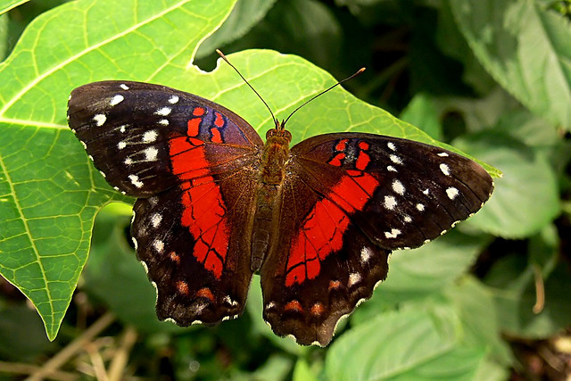 Anartia amathea: The Scarlet Peacock of West Indies - Image by Walwyn