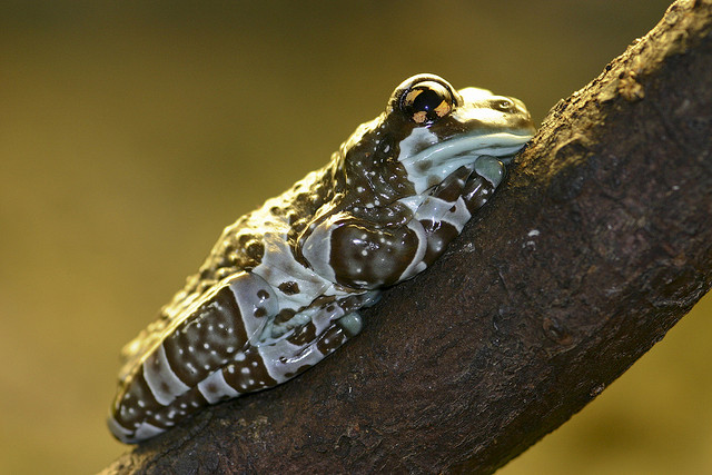 Amazon Milk Frog - An image by brian.gratwicke