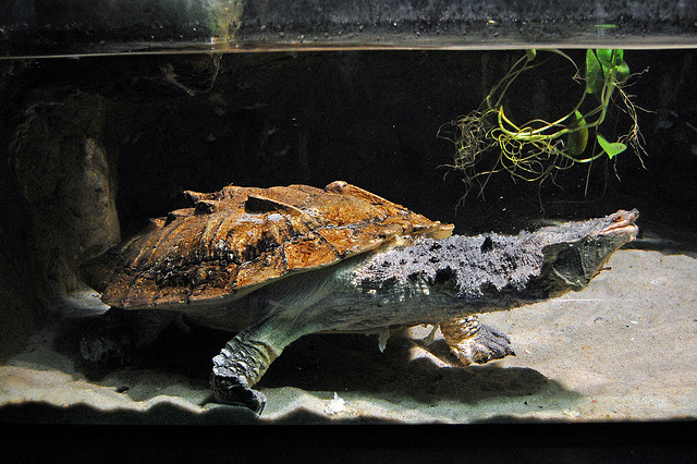 The Matamata Turtle: An unusual species of the Amazon River - An image by rbglasson