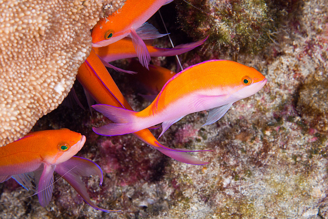 A phenomenal photo of Orange Anthias - Image: kanuck