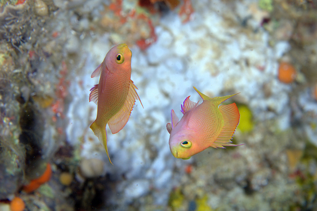 A superb photo of Pink Anthias - Image by PacificKlaus