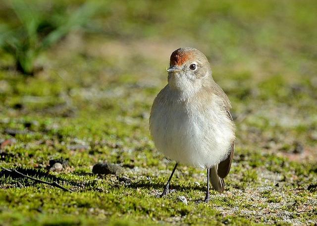 Red-capped Robin, female - Image owner :  birdsaspoetry