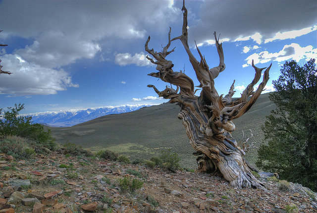 Bristlecones, which can be more than 4,000 years old =  Image by 3rd eye guy