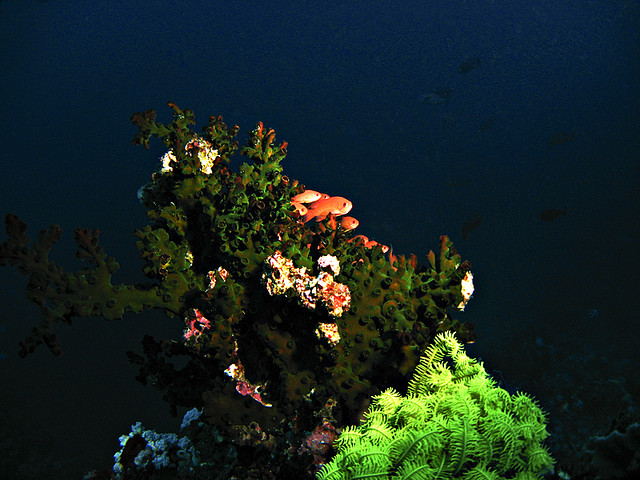 The natural habitat of Anthias - Image by Caloy and Myra