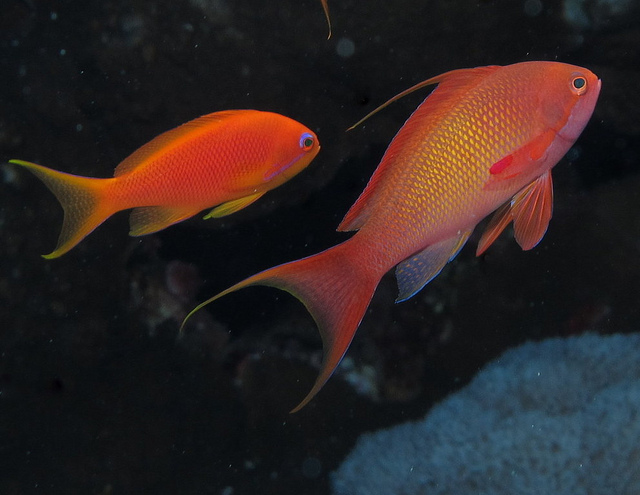 Male Anthias from the Red sea - Image: Derek Keats