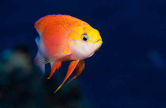 Anthias by Peter Liu Photography