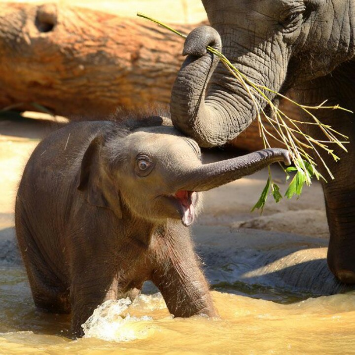 A cute little elephant calf being fed by his mom