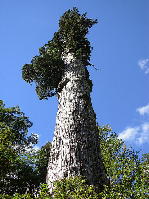 Fitzroya Cupressoides - Image by  by andrea ugarte