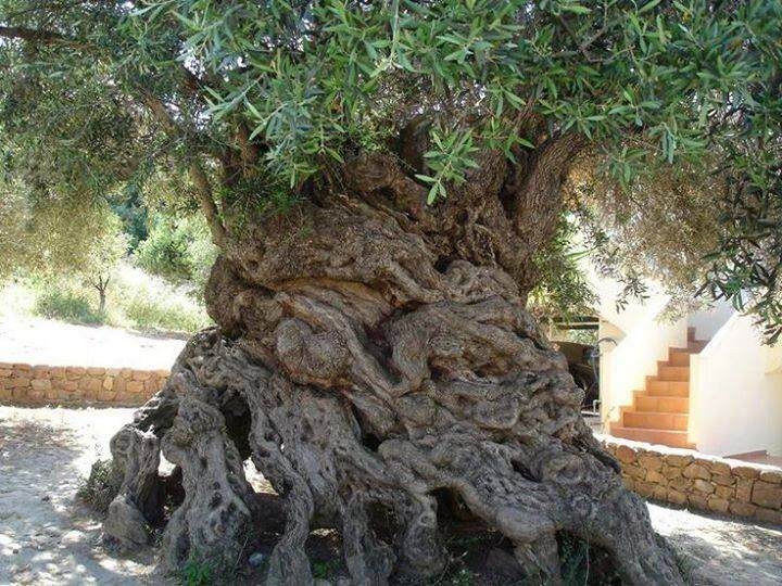 Oldest Olive Tree in Greece