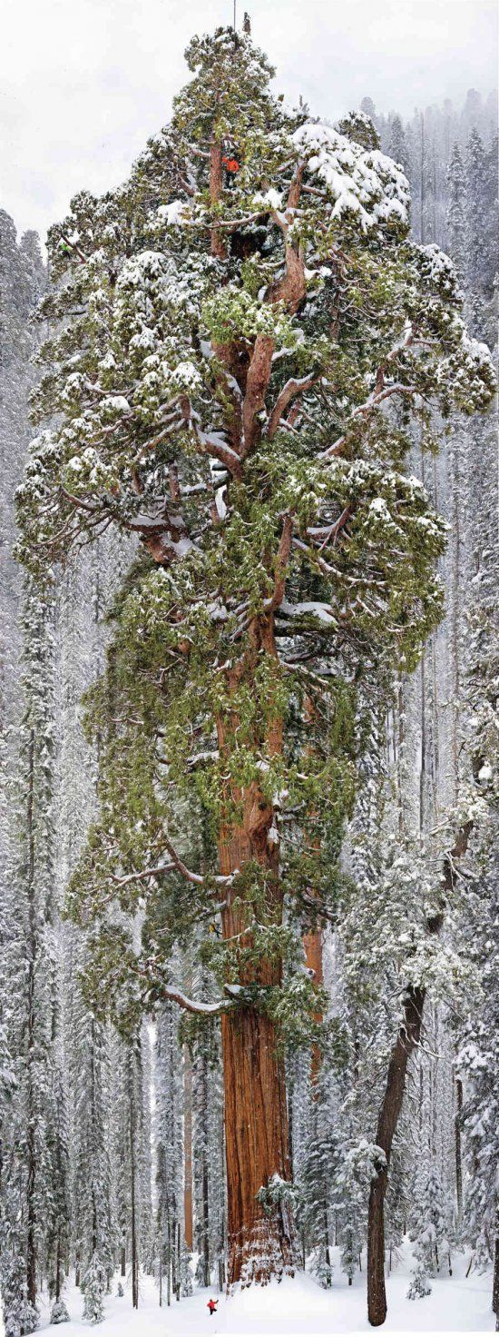 The President Giant sequoia