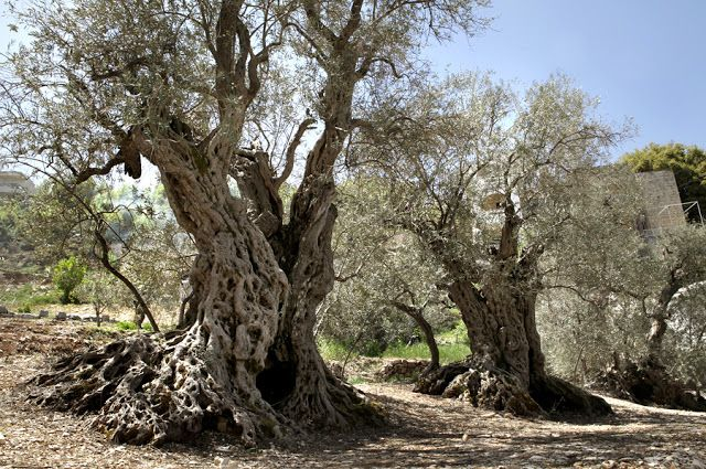 The Sisters Olive Trees