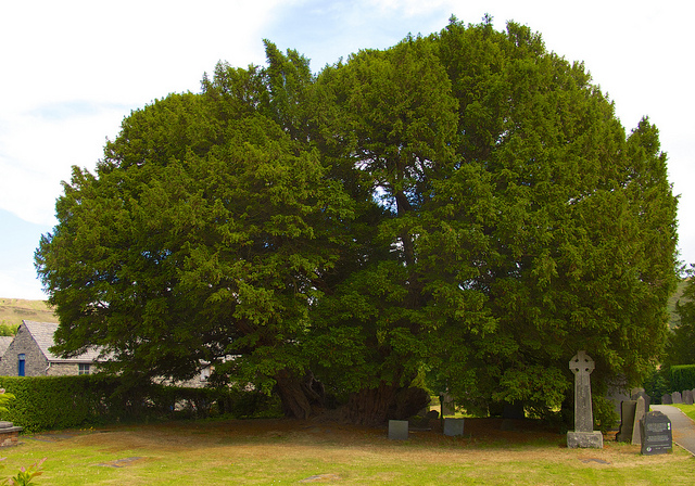 The incredible Llangernyw Yew - by Eifion
