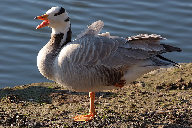 Bar-headed Goose -  Anser indicus - Image by arne.list