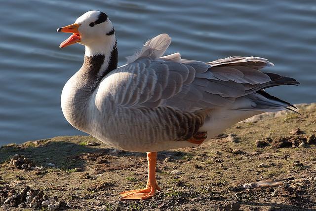 Bar-headed Goose -  Anser indicus - Image by arne.list