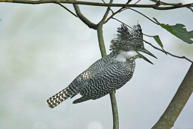 Crested Kingfisher -  Megaceryle lugubris by ken--
