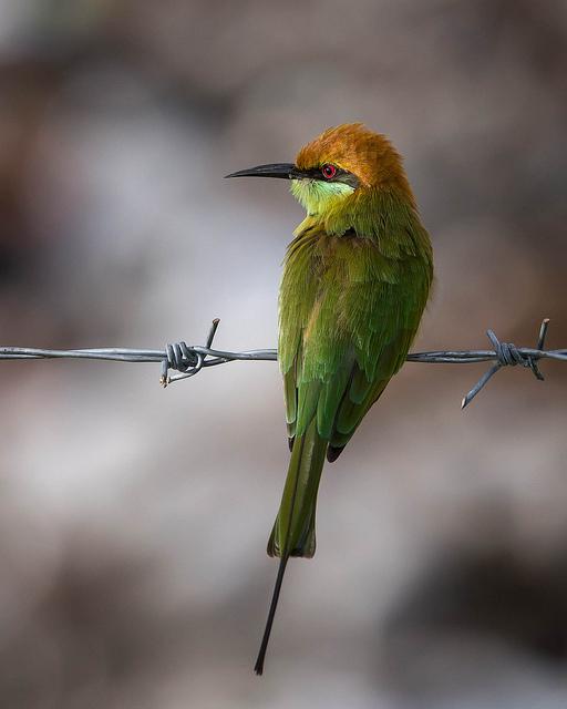 Green Bee-eater - Merops orientalis -  Photo by jasonbkk