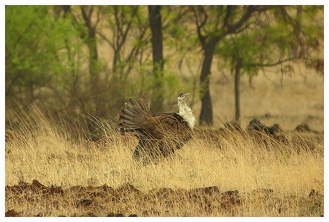 Indian Bustard -  Ardeotis nigriceps (Ex) - Image by bv_madhukar