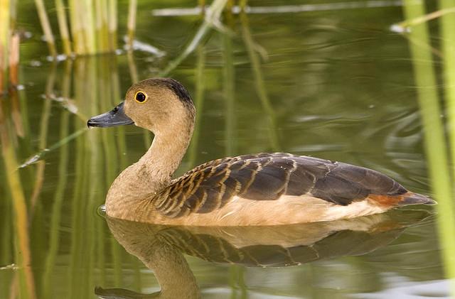 Lesser Whistling Duck -Dendrocygna javanica - Photo by budak