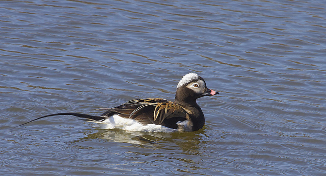 Long-tailed Duck - Clangula hyemalis - Image by Gregory Slobirdr Smith - Accidentally happens in Pakistan