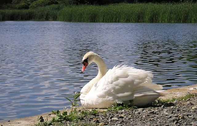 Mute Swan -  Cygnus olor - Image  by blumenbiene