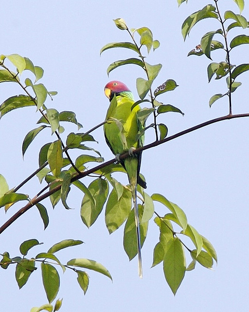 Plum-headed Parakeet - Psittacula cyanocephala-Image by Lip Kee