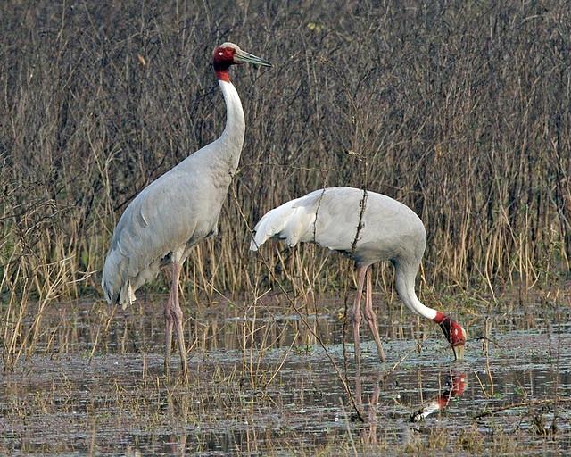 Sarus Crane -  Grus antigone - Photo by Lip Kee