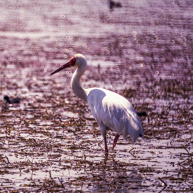 Siberian Crane -  Grus leucogeranus - Photo by sussexbirder