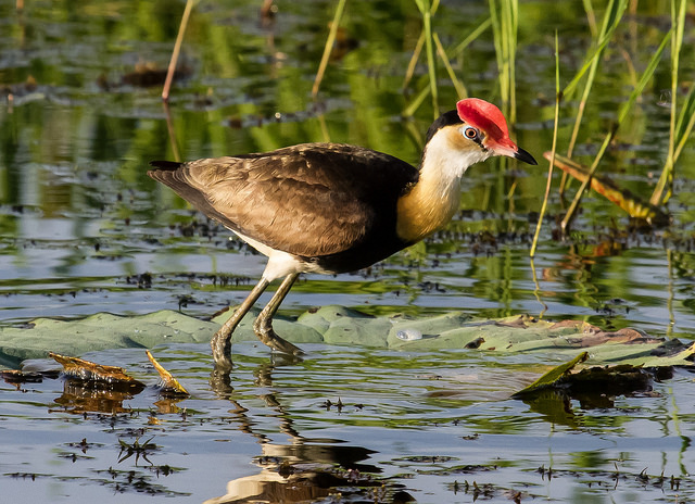 Comb-crested Jacana, the charming prince of wetlands - Photo by Geoff Whalan