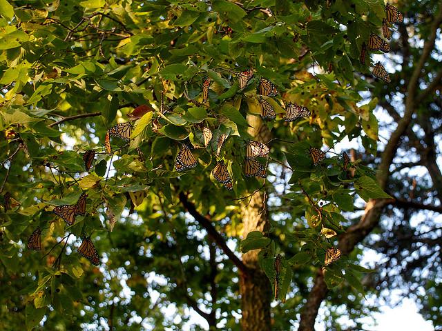 Monarch butterflies fluttering on a tree - Photo by jc-pics