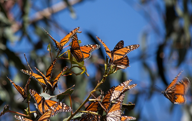 A marvelous view of Monarch migration - Photo by jmadjedi
