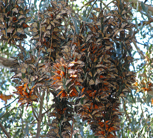 A spectacular cluster of Monarch butterflies - Image by jpmckenna - Off to Bend Oregon