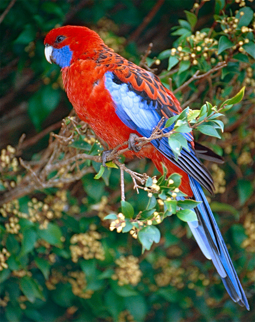 Crimson Rosella - Platycercus elegans = Photo by berniedup