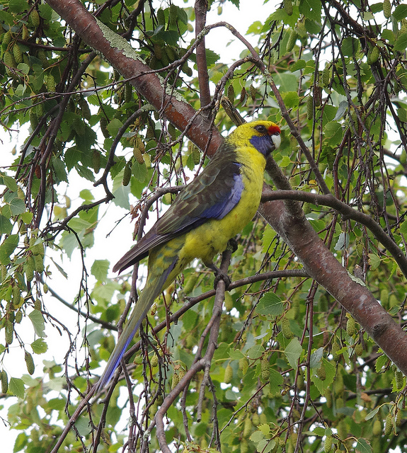 Green Rosella - Platycercus caledonicus - Photo by Ralph Green
