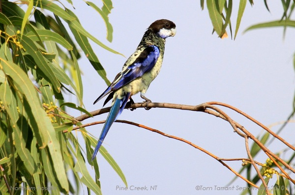 Northern Rosella - Platycercus venustus - Photo by aviceda