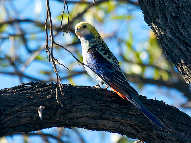 Pale-headed Rosella - (Platycercus adscitus)