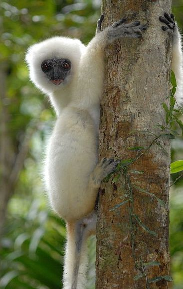 Silky Sifaka or Silky Simpona - A truely endangered species on earth