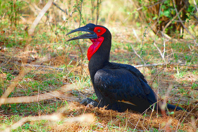 The southern ground hornbills (Bucorvidae) are a family of the order Coraciiformes. Photo by Arno Meintjes Wildlife