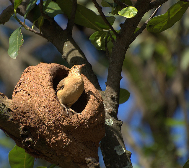 Red oven-bird is particularly recognized for its nest building ability from clay, grass and straws etc. Image by Dario Sanches