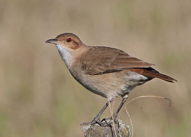 Rufous hornero - National bird of Argentina. Image by Gustavo (lu7frb)