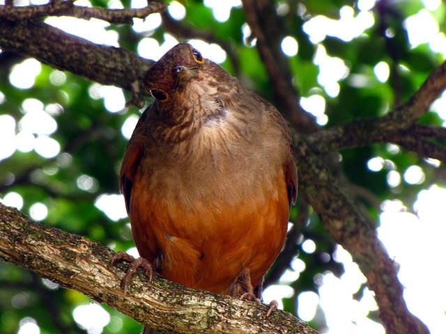 National bird of Brazil. by coutinhobr