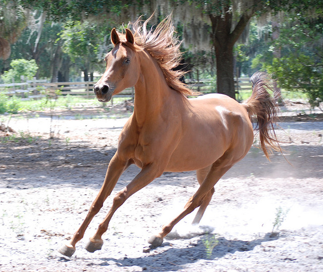 Arabian horse. Image  by Larah McElroy