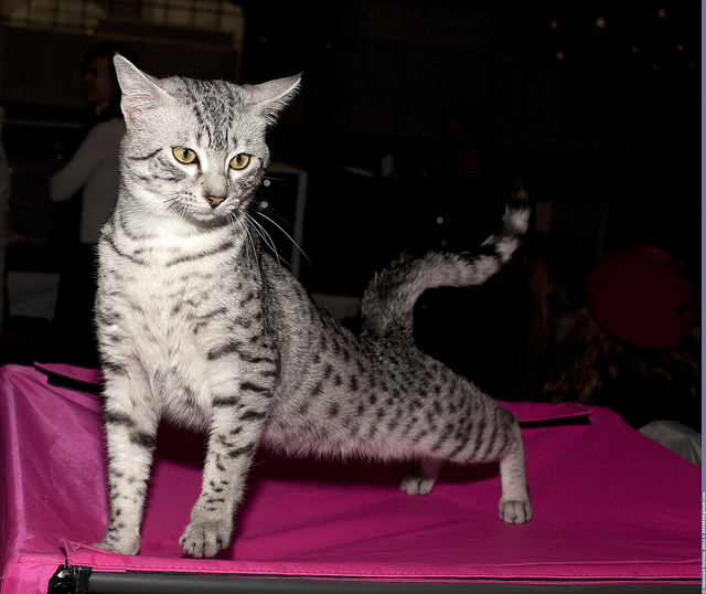 Egyptian Mau Cat. Image  by Nickolas Titkov